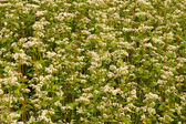 Flowering buckwheat field — Stockfoto