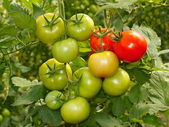 Bunch with green and red tomatoes — Stock Photo