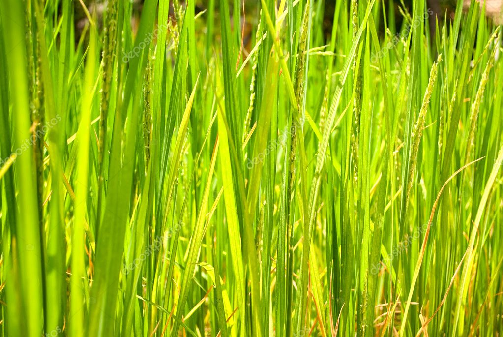 Rice growing under the sun — Stock Photo #5205759