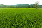 Green Rice Field Near The Mountain — Stock Photo