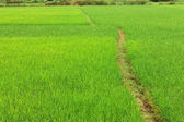 Path way in the rice field — Stock Photo