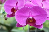 Beautiful Purple Orchid, Phalaenopsis hybrids — Stock Photo