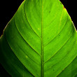 Stock Photo: Green Leaf Detail Backlit on black