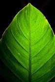 Green Leaf Detail Backlit on black — Stock Photo