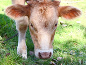 The young it is brown a white calf — Stock Photo