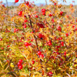 Red dogrose in the autumn — Stock Photo