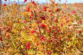 Dogrose vermelho no outono — Foto Stock