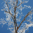 Stock Photo: Tree branches covered with hoarfrost