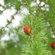 Branches of a pine with cones — Stock Photo