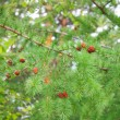 Branches of a pine with cones — Stock Photo #5029447
