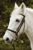 Close-up picture of white horse in the park — Stock Photo