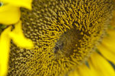 Beautiful yellow sunflower close-up — Stock Photo