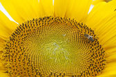 Beautiful yellow sunflower with a bee — Stock Photo