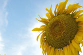 Beautiful yellow sunflower with blue sky — Stock Photo