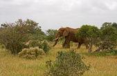 Elefant africana — Foto de Stock