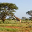 Stock Photo: Africgiraffe
