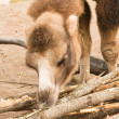 Camel gnawing a bark of trees — Stock Photo