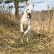 Wet dog skipping on wood — Stock Photo #4110867