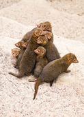 Dwarf mongoose — Stock Photo