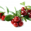 Red cowberry isolated in white — Stock Photo #4212011