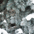 Branches of fur-tree covered by hoarfrost, background — Stock Photo #4255465