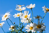 Field chamomile flower against the blue sky — Stock Photo