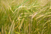 Cereal field of a wheat in the summer — Stock Photo