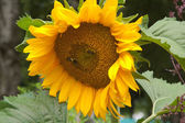 Bees on a flower of a sunflower — Stock Photo