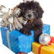 Stock Photo: Small puppy of poodle with New Year's gifts