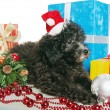 The small puppy of a poodle with New Year's gifts — Stockfoto