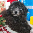The small puppy of a poodle with New Year's gifts - Stock Photo