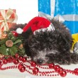 The small puppy of a poodle with New Year's gifts — Stock Photo