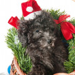 The small puppy of a poodle with New Year's gifts — Zdjęcie stockowe