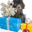 The small puppy of a poodle with New Year's gifts — Foto de Stock