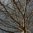 Leafless tree — Stock Photo #4514524