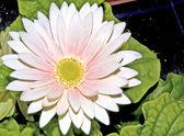 Gerbera pink flower — Stock Photo