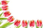 Tulips border — Stock Photo