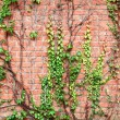 Brick wall and grapes branches — Stock Photo