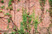 Brick wall and grapes branches — Stock Photo