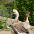 Stock Photo: Two geese