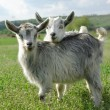 Royalty-Free Stock Photo: Two young goats