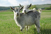 Two young goats — Stock Photo