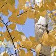 Yellow leaves of birches — Stock Photo