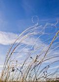 Feld Gräser gegen den blauen Himmel — Stockfoto