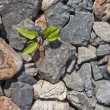 Stock Photo: Plant which is making way through stones