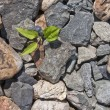 The plant which is making the way through stones — Stock Photo