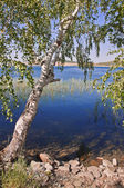 Summer landscape with a birch on the coast of blue lake — Stock Photo