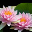 Pink lotus - Stock Photo
