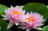 Pink lotus — Foto de Stock