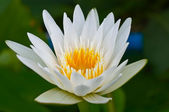 White lotus — Foto de Stock